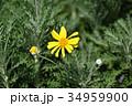 ユリオプスデージー 花 植物の写真 34959900
