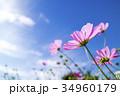 青空とコスモス 34960179