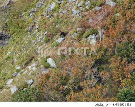 紅葉の斜面に佇むヒグマ 34960598