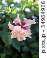 ハイビスカス オレンジフラミンゴ 花の写真 34964966