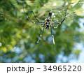 オオジョロウグモ クモ クモの巣の写真 34965220