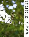 オオジョロウグモ クモ クモの巣の写真 34965313