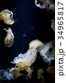 クラゲ 海月 水母の写真 34965817