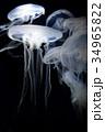 クラゲ 海月 水母の写真 34965822
