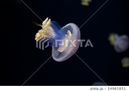 クラゲ展示数でギネスブックに認定の鶴岡市立加茂水族館のクラゲドリーム館 34965831