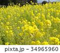 菜の花 34965960