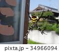 コガネグモ  34966094