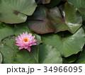 水連の花 34966095