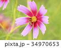 蜜蜂と秋桜 34970653