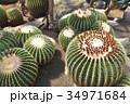 伊豆シャボテン動物公園のサボテン金鯱 34971684