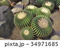 伊豆シャボテン動物公園のサボテン金鯱 34971685