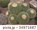 伊豆シャボテン動物公園のサボテン金鯱 34971687