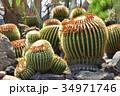 伊豆シャボテン動物公園のサボテン金鯱 34971746
