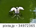伊豆シャボテン動物公園のペリカン 34972365