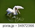 伊豆シャボテン動物公園のペリカン 34972366