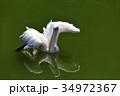 伊豆シャボテン動物公園のペリカン 34972367