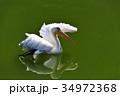 伊豆シャボテン動物公園のペリカン 34972368