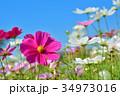 花 コスモス 秋桜の写真 34973016