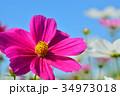 コスモス畑と青空 34973018