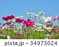 花 コスモス 秋桜の写真 34973024