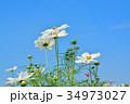 花 コスモス 秋桜の写真 34973027