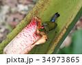 Purple-naped Sunbird(ムナフタイヨウチョウ) 34973865