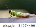 Grasshopper of Borneo 34974499