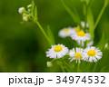 花 植物 ヒメジョオンの写真 34974532