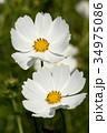 植物 花 コスモスの写真 34975086