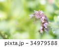 花 植物 シソ科の写真 34979588