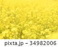 菜の花 花 菜の花畑の写真 34982006