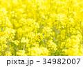 菜の花 花 菜の花畑の写真 34982007