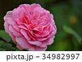 秋薔薇 薔薇 バラの写真 34982997