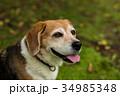 ビーグル犬 34985348