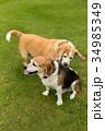 2匹のビーグル犬 34985349