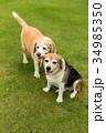 2匹のビーグル犬 34985350