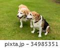2匹のビーグル犬 34985351