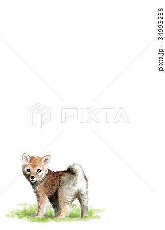 犬のハガキ素材茶柴犬タテ型 34993238