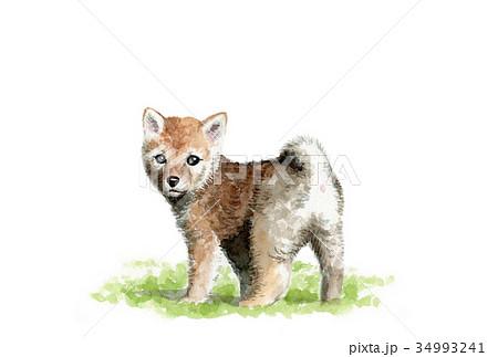 犬のハガキ素材茶柴犬ヨコ型 34993241