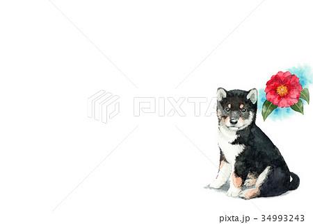 犬のハガキ素材黒柴犬ヨコ型 34993243