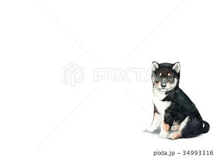 犬のハガキ素材黒柴犬ヨコ型 34993316