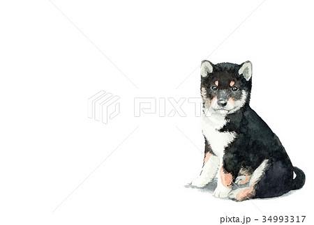 犬のハガキ素材黒柴犬ヨコ型 34993317