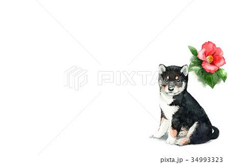 犬のハガキ素材黒柴犬ヨコ型 34993323