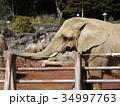 アフリカゾウ 34997763