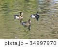 鳥 水鳥 野鳥の写真 34997970