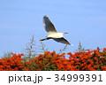 コサギ 白鷺 野鳥の写真 34999391