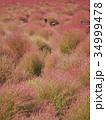 コキア ホウキグサ コキア畑の写真 34999478