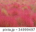 コキア ホウキグサ コキア畑の写真 34999497
