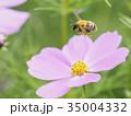コスモスとミツバチ(花粉付き、ホバリング) 35004332