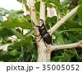 ノコギリクワガタ 昆虫 クワガタの写真 35005052